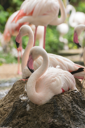 Flamingo rest on ground and nesting incubate