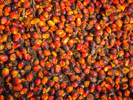 palm fruits: Oil palm fruits before processing in Thailand.