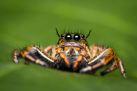 Macro of jumping spider on green leaf. Stock Photo