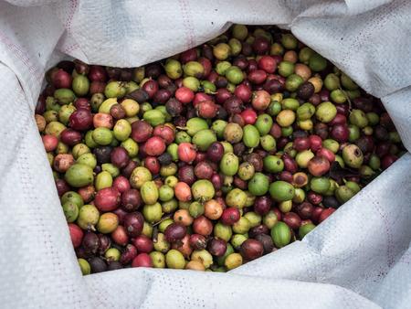 fresh coffee beans before roast in sack.