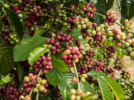 Coffee seeds in a plantation, Chumphon province, Thailand.