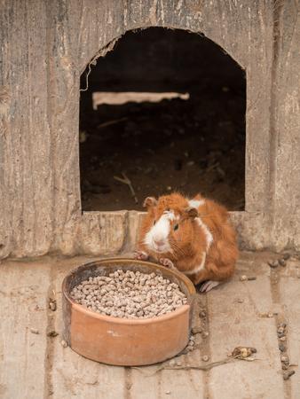 Leuke cavia voederen in de dierentuin.