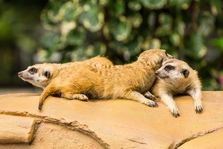 Meerkat resting on ground in zoo, Thailand. Stockfoto