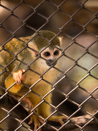 Sad squirrel monkeys in steel cage at zoo. Stockfoto