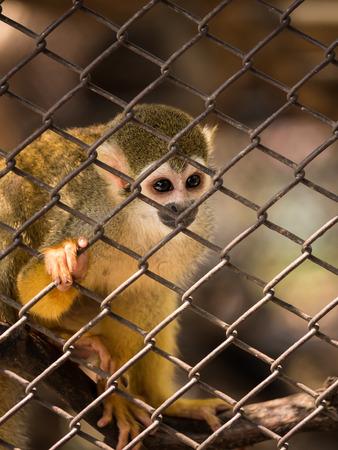 sciureus: Sad squirrel monkeys in steel cage at zoo. Stock Photo