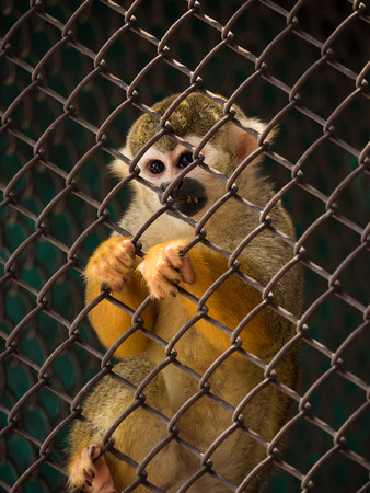 Sad squirrel monkeys in steel cage at zoo. Stock Photo