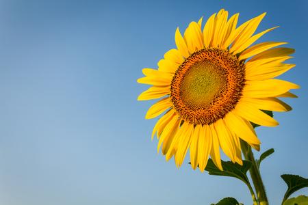 Zonnebloem in plantage geconfronteerd met 's ochtends licht. Stockfoto