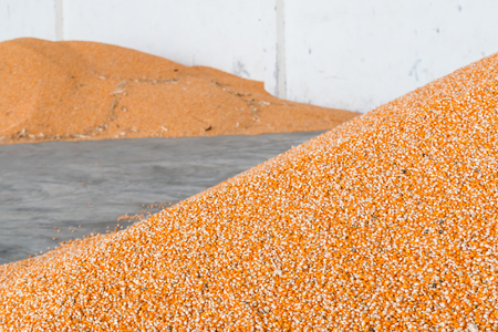Corn after milling and harvest in the barn.
