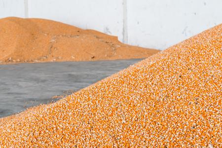 Maïs na het frezen en oogst in de schuur. Stockfoto