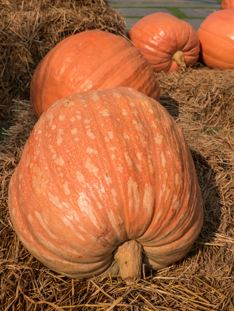 Giant pumpkin on straw placed in farm.