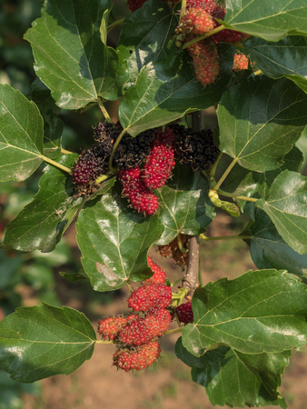 branch of red mulberry with many ripe. Stockfoto