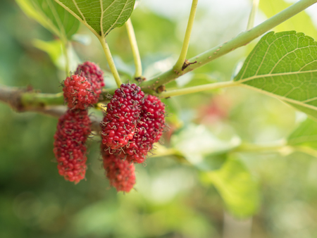 branch of red mulberry with many ripe. Stock Photo