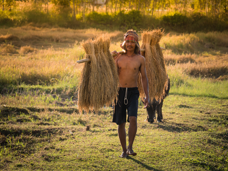Thai farmer carrying the rice on shoulder after harvest, farmer work to keep the rice to be sold.