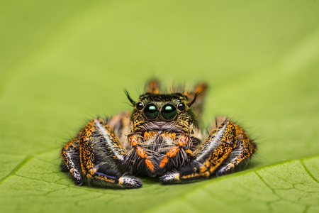 Jumping Spider on green leaf. Stockfoto