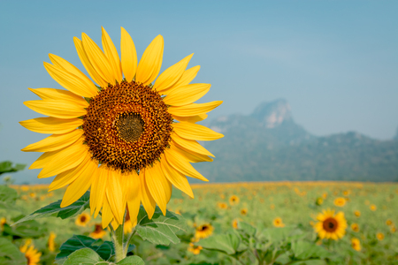 Beautiful sunflower plant in the field, Thailand Stock Photo