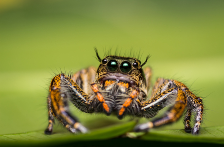 Jumping Spider on green leaf. Stock Photo