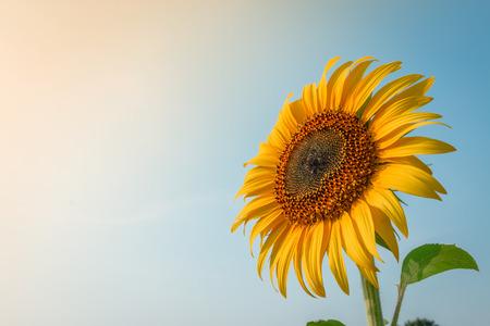 Beautiful sunflower and sun light form top left. Stock Photo