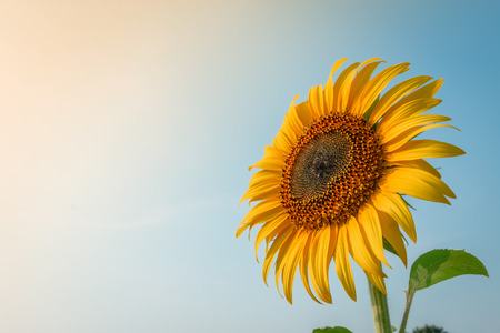 Beautiful sunflower and sun light form top left. Stockfoto