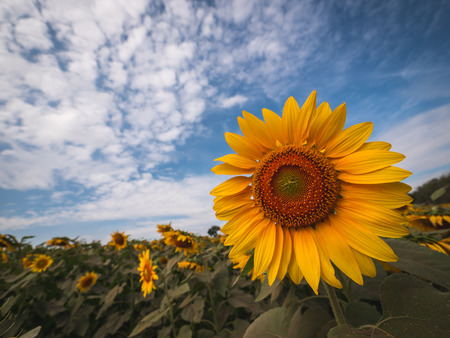 Beautiful sunflower plant in the field, Thailand.