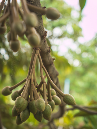 Fresh young durian fruit hanging on tree.