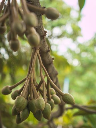 Verse jonge Durian fruit opknoping op de boom.