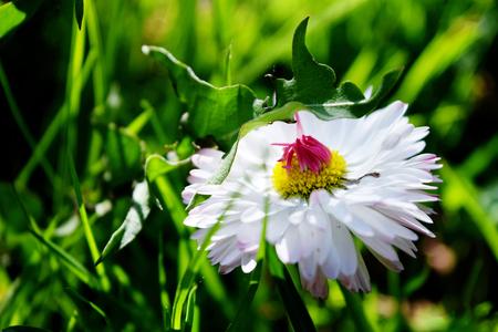 White daisy on green field in summer