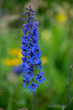 Bright blue delphinium blooms in the garden, close-up of a delphinium