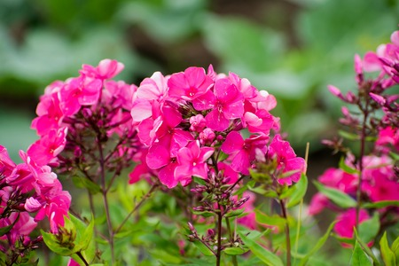 Beautiful flowers - bright pink phlox flowers in the garden.