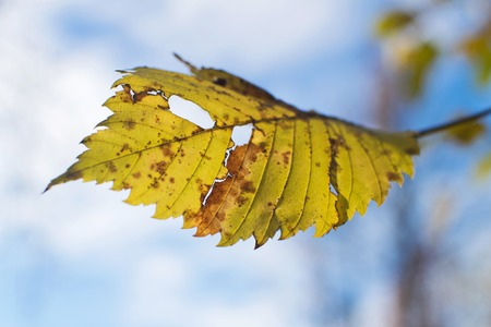 Alder leaf. Autumn alder against the blue sky. Stock Photo