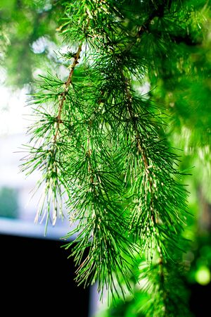 Bright green fluffy branches of larch tree in sunlight. Green spring background.
