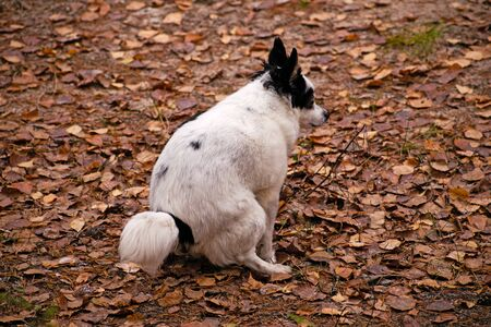 Urban hygiene: small dog spitz doing her ablutions in forest rather than on street.