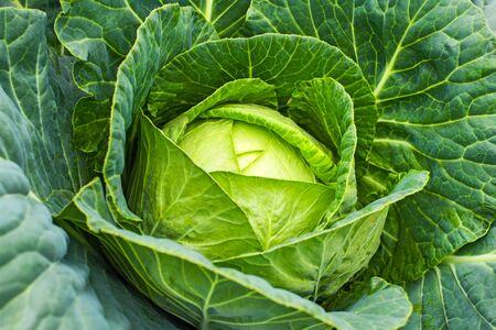 Cabbage grow in home vegetable garden. Fresh cabbage. Standard-Bild