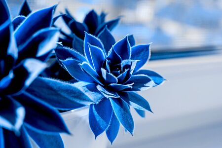 Close up of Beautiful succulent plant on the window. Classic blue color of 2020.