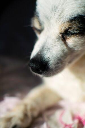 Happy dog Spitz resting and enjoying the morning sun.