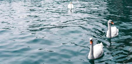 Beautiful white Swan is swiming on crystal blue lake , Zurich lake. Banner Stock Photo