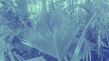 trendy design, nature and background concept - close up of ultra violet and blue duotone palm tree leaves Stock Photo
