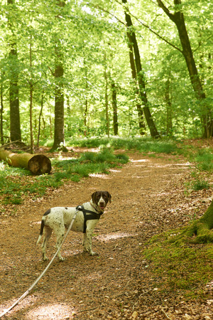 pointer dog: Old danish pointer dog in long leash in the forest