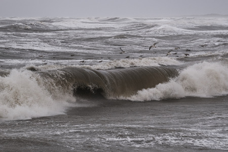 seagulls fishing in the waves during storm in Nr. Vorupoer on the North Sea coast in Denmark