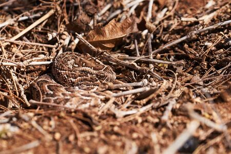 baby puff adder on the ground between branches, twigs and leaves Zdjęcie Seryjne