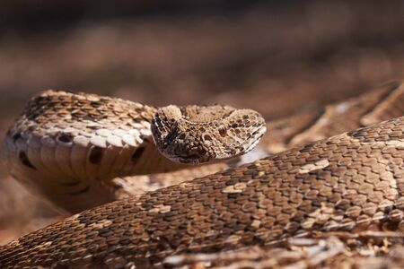 Adult female puff adder on the ground between branches, twigs and leaves, facing camera