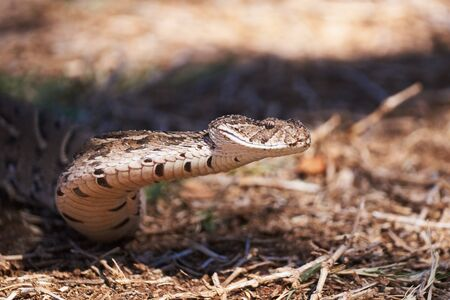 Adult female puff adder on the ground between branches, twigs and leaves