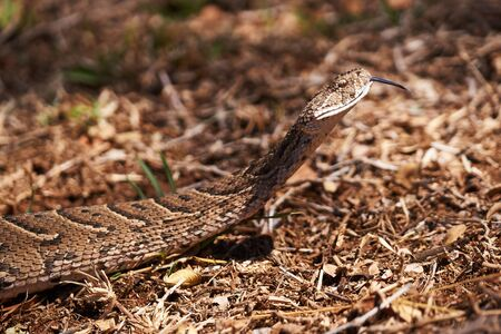 Adult female puff adder on the ground between branches, twigs and leaves Zdjęcie Seryjne