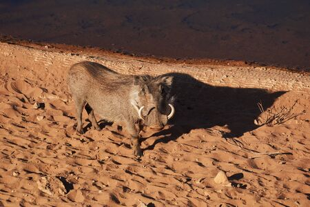 warthog standing close to water in evening sun Stock Photo