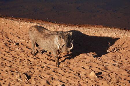 warthog standing close to water in evening sun Reklamní fotografie