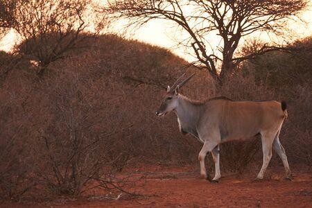 Eland antelope walking in the bush