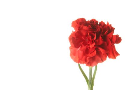 Beautiful red Dianthus flower on white background