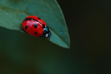 Ladybug on leaf Stock Photo - 7885281