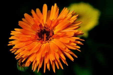 A nice orange Calendula officinalis photo