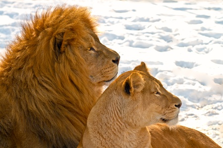 Male and female lions lying in the snow photo