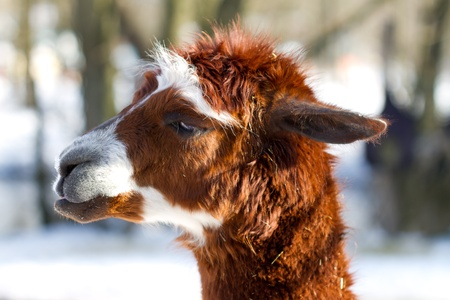 Young Calico Llama Alpaca face Close Up